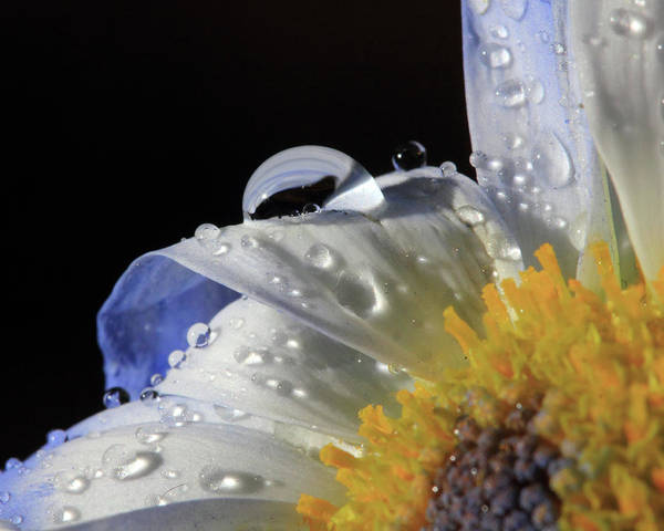 Photograph - Water Drops On Blue Daisy by Angela Murdock