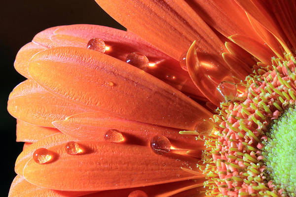 Photograph - Water Drops On Colorful Flower Petals by Angela Murdock