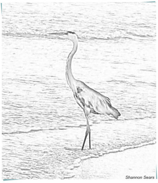Coco Drawing - Water Fowl Sketch by Shannon Sears