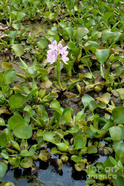 Photograph - Water Hyacinth Eichhornia Crassipes by Ted Kinsman