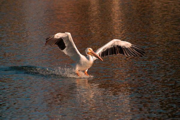 Photograph - Water Landing by Howard Bagley