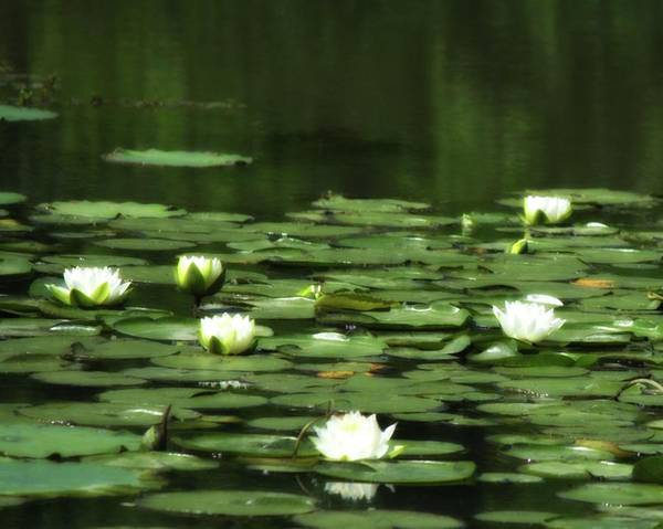 Photograph - Water Lilies 3 by John Feiser