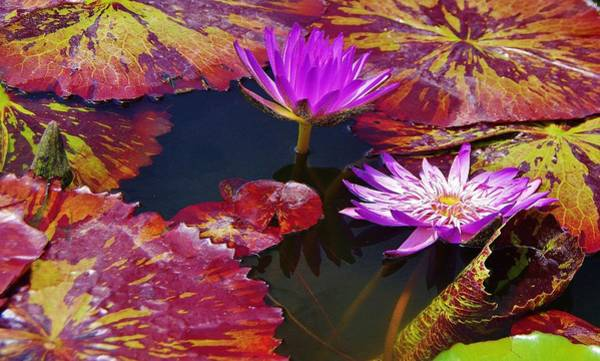 Photograph - Water Lilies 9 by Phyllis Spoor