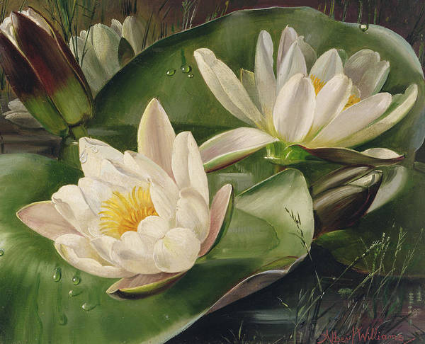 White Lily Painting - Water Lilies by Albert Williams