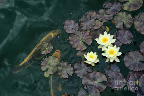 Koi Pond Photograph - Water Lilies And Koi by Tim Gainey