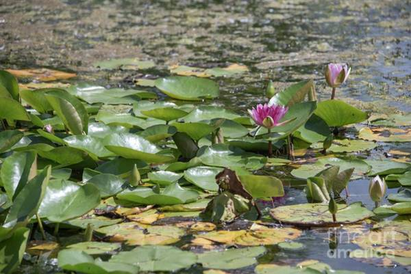 Giverny Photograph - Water Lilies At Giverny by David Bearden