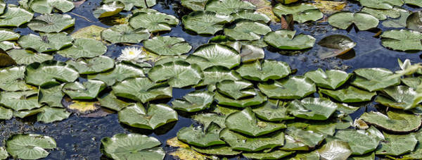 Photograph - Water Lilies by Cricket Hackmann