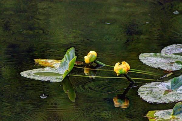 Photograph - Water Lilies by David Matthews
