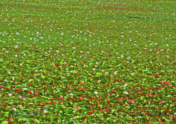 Photograph - Water Lilies In A Mountain Lake by Dorothy Pugh