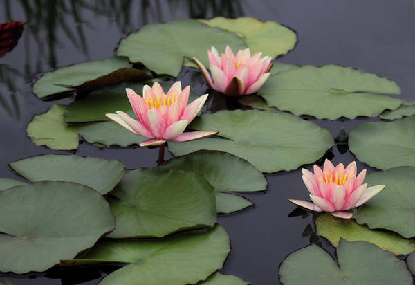 Pink Lily Photograph - Water Lilies by Jessica Jenney