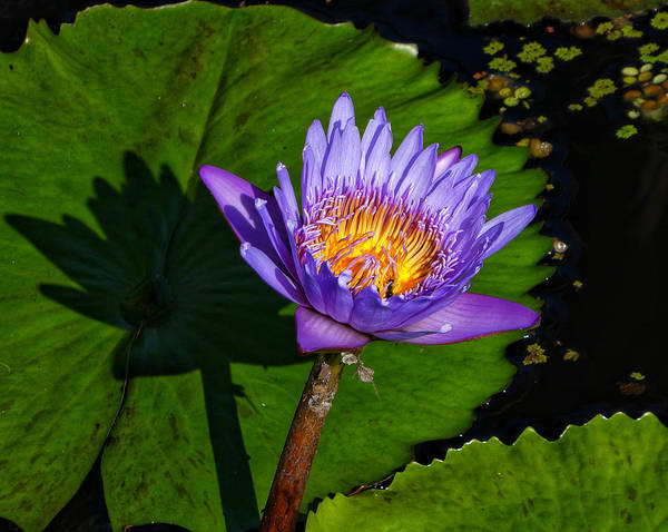 Red Wall Art - Photograph - Water Lilies by Kathi Isserman