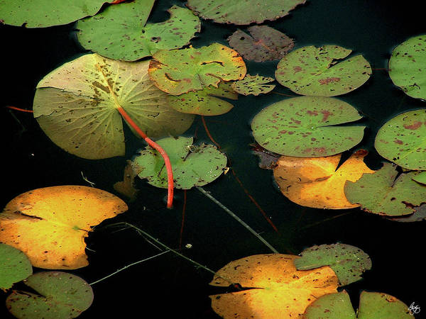 Photograph - Water Lilies No 1 by Wayne King