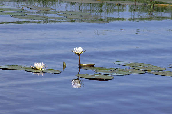 Photograph - Water Lilies by Tony Murtagh