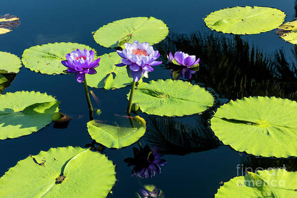 Photograph - Water Lilies V by Brian Jannsen