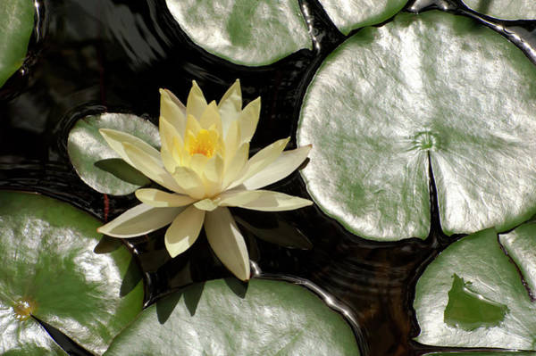 Photograph - Water Lilies by Windy Osborn