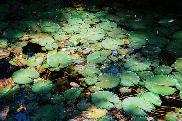 Photograph - Water Lillies by Alexandre Rotenberg