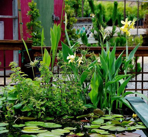 Photograph - Water Lillies  by Phyllis Spoor