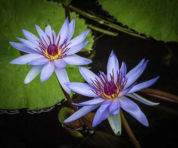 Photograph - Water Lillies by Richard Goldman