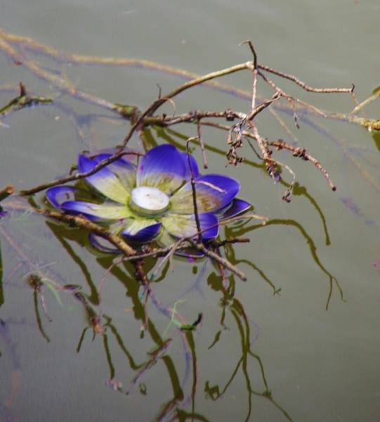 Photograph - Water Lilly 2 by Phyllis Spoor