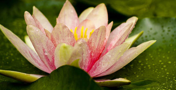 Wall Art - Photograph - Water Lilly At Eye Level by Teresa Mucha
