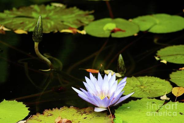 Wall Art - Photograph - Water Lily Buds by Gregory E Dean