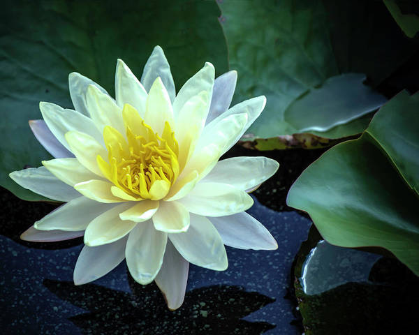 Photograph - Water Lily #1 by Chris Coffee