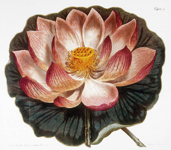 Photograph - Water Lily, 1806 by Granger