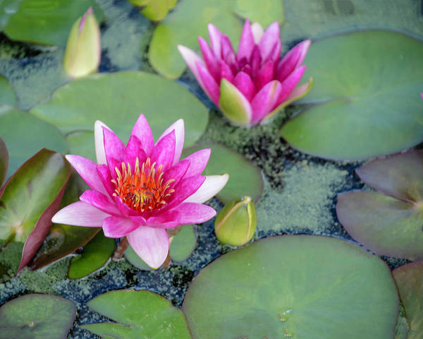 Photograph - Water Lily #2 by Chris Coffee