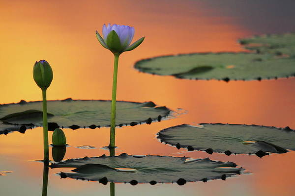 Wall Art - Photograph - Water Lily 2am-005409 by Andrew McInnes