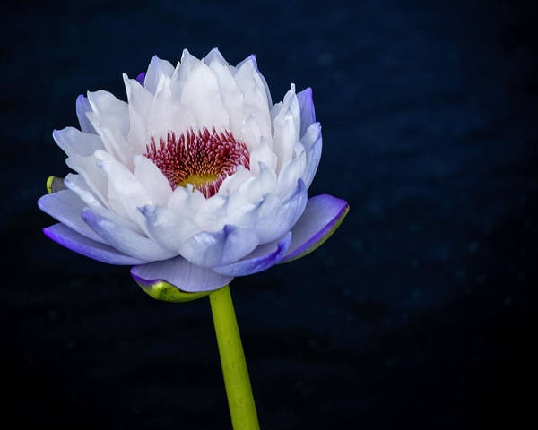 Photograph - Water Lily #3 by Chris Coffee