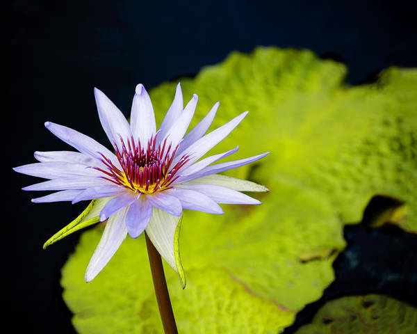 Photograph - Water Lily #4 by Chris Coffee