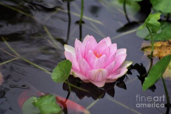 Photograph - Water Lily 4 by Victor K