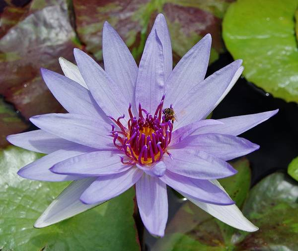 Photograph - Water Lily 5 by Phyllis Spoor