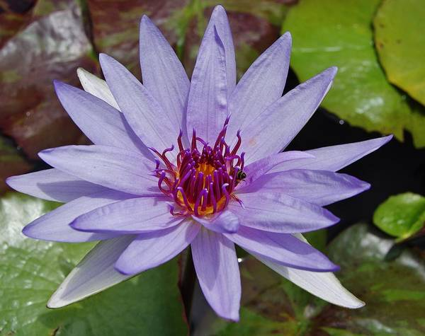 Photograph - Water Lily 6 by Phyllis Spoor