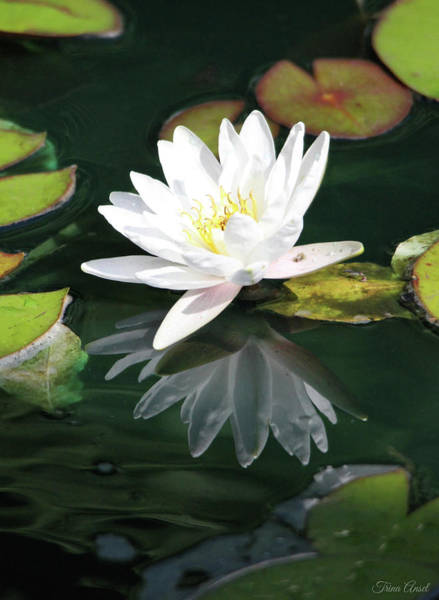 Photograph - Water Lily And Reflection by Trina Ansel