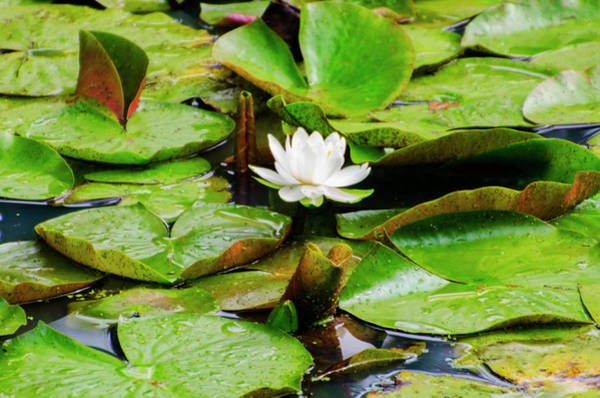 Wall Art - Photograph - Water Lily by Bill Cannon