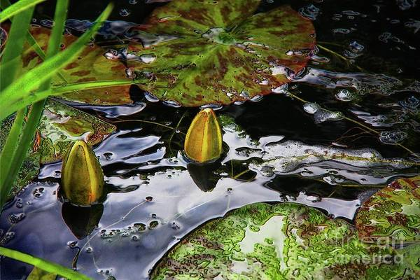 Mixed Media - Water Lily Buds by Jolanta Anna Karolska