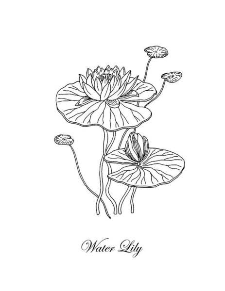 Drawing - Water Lily Flower Botanical Drawing  by Irina Sztukowski