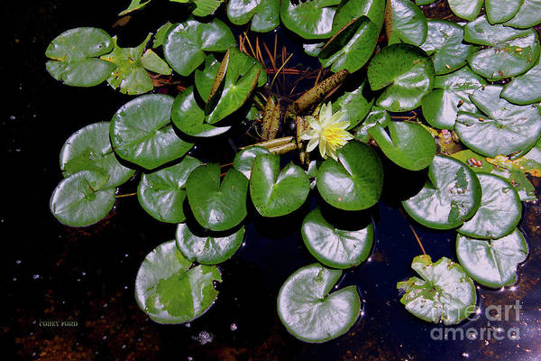 Pistil Painting - Water Lily Flower by Corey Ford