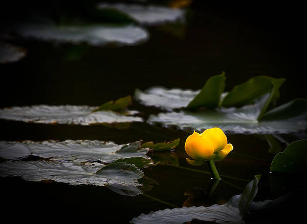 Wall Art - Photograph - Water Lily Flower by Patrick  Flynn