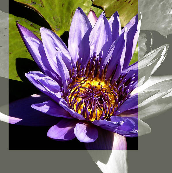 Photograph - Lavender Water Lily Flower, Color And Duotone by Patrick Malon