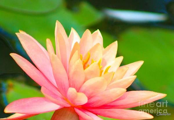 Floating Water Lily  Art Print