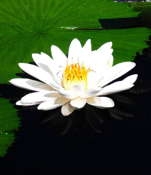 Wall Art - Photograph - Water Lily In White by Candace Shockley