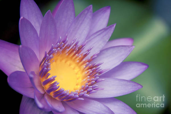 Garten Wall Art - Photograph - Water Lily Nymphaea Nouchali Star Lotus by Sharon Mau