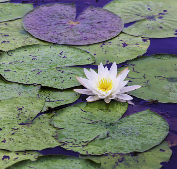 Photograph - Water Lily Panorama by Jim Dollar