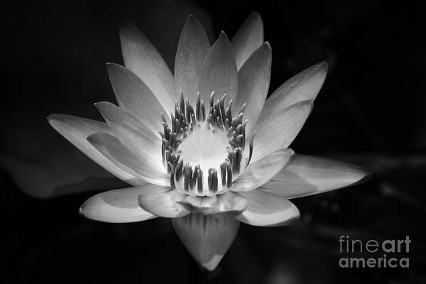 Nymphaea Lotus Photograph - Water Lily by Sharon Mau