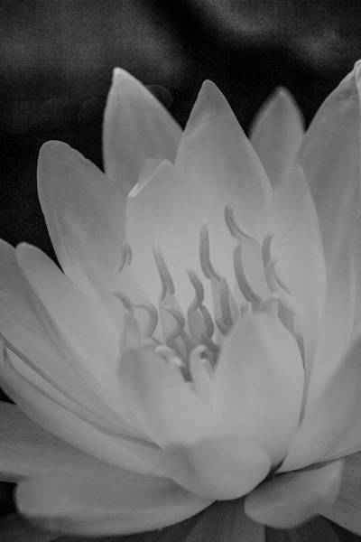 Photograph - Water Lily Soft Monochrome by Teresa Wilson