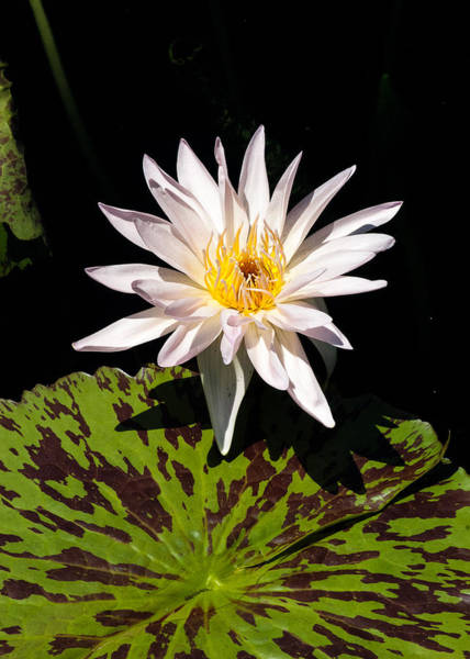 Photograph - Water Lily by Tom Potter