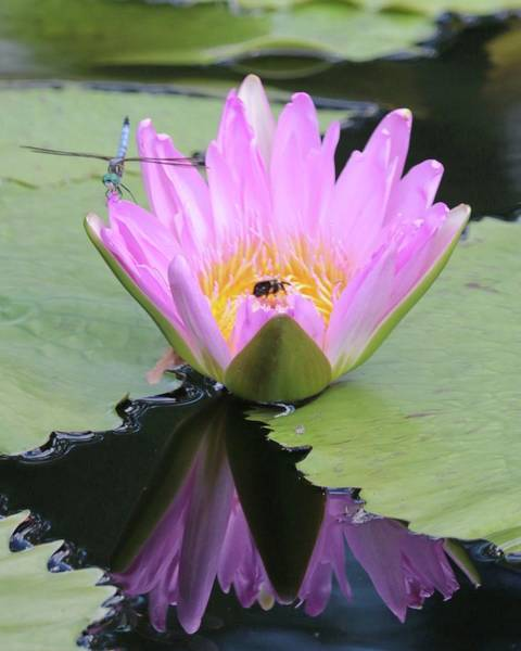 Photograph - Water Lily With Dragon Fly by Harold Rau