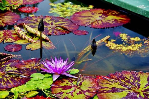Photograph - Water Lily With Pads by Phyllis Spoor